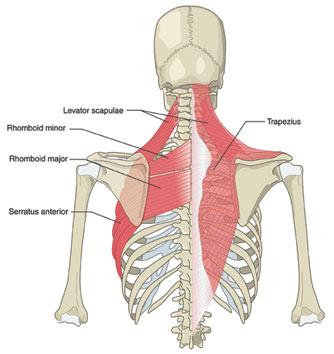 Back muscles// Yoga Anatomy